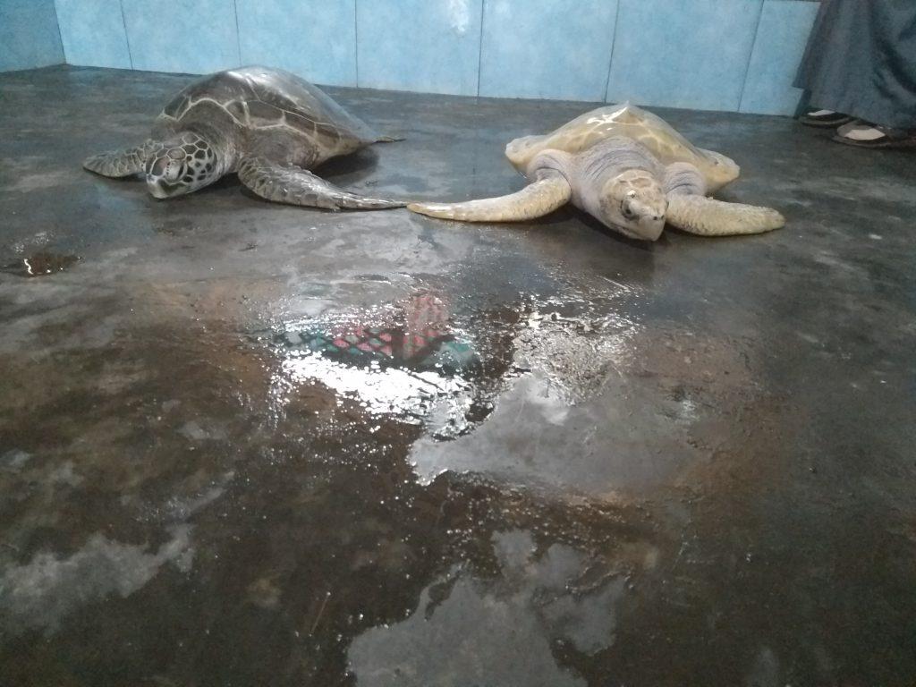 Sea Turtle Cemara Beach